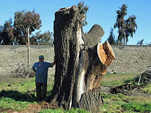 Cut standing tree trunk, image